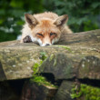 Red Fox (Vulpes vulpes) — Foto Stock