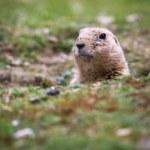 Black tailed prairie dog (Cynomys ludovicianus) — Stock Photo