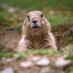 Black tailed prairie dog (Cynomys ludovicianus) — Stock Photo #6149717