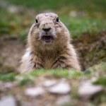 Black tailed prairie dog (Cynomys ludovicianus) — Stock Photo #6149719