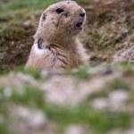 Black tailed prairie dog (Cynomys ludovicianus) — Stock Photo #6149725