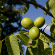 Walnuts growing on a tree - Stock Photo