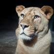 Close-up portrait of a majestic lioness (Panthera Leo) in nature — Stock Photo #6149943