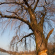 Beaver gnawed willow tree - Foto de Stock