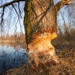 Beaver gnawed willow tree — Stock Photo