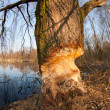 Stock Photo: Beaver gnawed willow tree