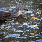 Otter - the cutest european mammal — Stock Photo