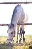 Vackra vita hästen betar på gräs på en solig dag (färg ton — Stockfoto