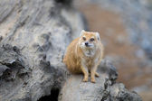 Yellow mongoose - really clever and cute prairie animal — Stock Photo