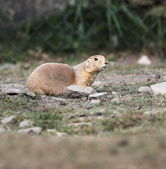 Black tailed prairie dog sitting on the ground and looking aroun — Stock Photo