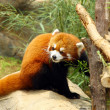 The endangered red panda - Stock Photo