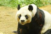 Giant panda bear — Stockfoto