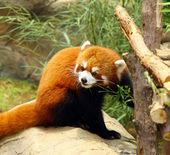 The endangered red panda — Stock Photo
