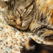 Sleeping cat — Stock Photo #6248729