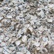 Oyster shells on the ground — Stock Photo
