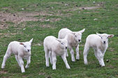 A gang of lambs — Stock Photo