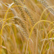 Barley, Hordeum Vulgare - Stock Photo