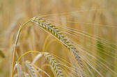 Barley, Hordeum Vulgare — Stock Photo