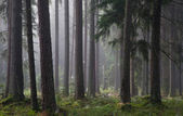 Coniferous trees against light of misty sunrise — Stock Photo