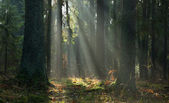 Misty autumnal coniferous stand of Bialowieza Forest at sunrise — Stock Photo