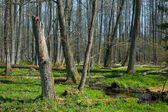 Riparian stand of Bialowieza Forest along stream — Stock Photo
