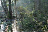 Bialowieza Forest riparian stand in morning — Stock Photo