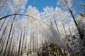 Bent Birch tree snoww wrapped — Stock Photo