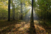 Morning sun entering deciduous stand — Stock Photo
