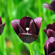 Vinous tulips — Stock Photo