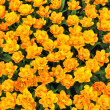 Spring field yellow tulips. — Stock Photo