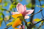 Pink magnolia flower in spring — Stock Photo