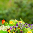 Summer garden flower colorful violet pansy portrait — Stock Photo