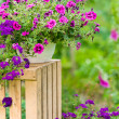 Garden violet flower in pot standing crate — Stock Photo