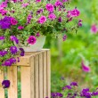 Garden violet flower in pot standing crate - Stock Photo