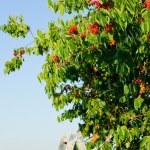 Cherry tree harvest summer portrait — Stock Photo #6441280