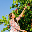 Cherry tree harvest summer woman sunny countryside - Foto de Stock