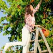 Cherry tree harvest summer woman climb ladder — Stock Photo