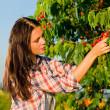 Cherry tree harvest summer woman sunny countryside — Stock Photo