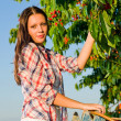 Cherry tree harvest summer beautiful woman sunny — Stock Photo