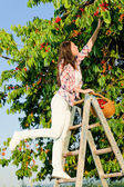 Cherry tree harvest summer woman climb ladder — Stock Photo