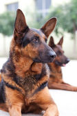 Guard Dog — Stock Photo