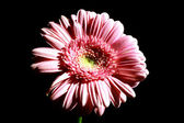 Foto of pink flower on black background — Stock Photo