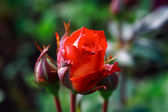 фото красной розы в саду родителей — Стоковое фото