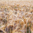 Fot of arable on which growing rye — Stock Photo