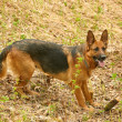 German Shepherd — Stock Photo #5809779