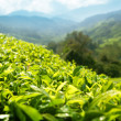 Tea (shallow DOF) plantation Cameron highlands, Malaysia — Stock Photo #5472042