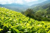 Tea (shallow DOF) plantation Cameron highlands, Malaysia — Stock Photo