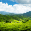 Tea plantation Cameron highlands, Malaysia — Stock Photo #5725485