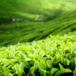 Tea plantation Cameron highlands, Malaysia (shallow DOF) - Foto Stock