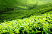 Tea plantation Cameron highlands, Malaysia (shallow DOF) — Stock Photo